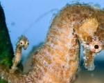 seahorse-father-newborn_10210_600x450-150x150
